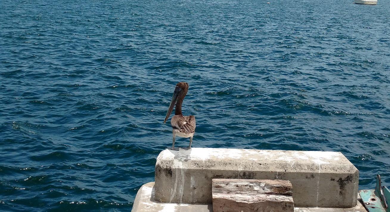 11. Un des très nombreux pélicans installés dans les îles