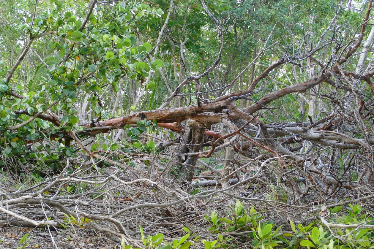 12. L'îlet du Gosier ; le cyclone a cassé du bois
