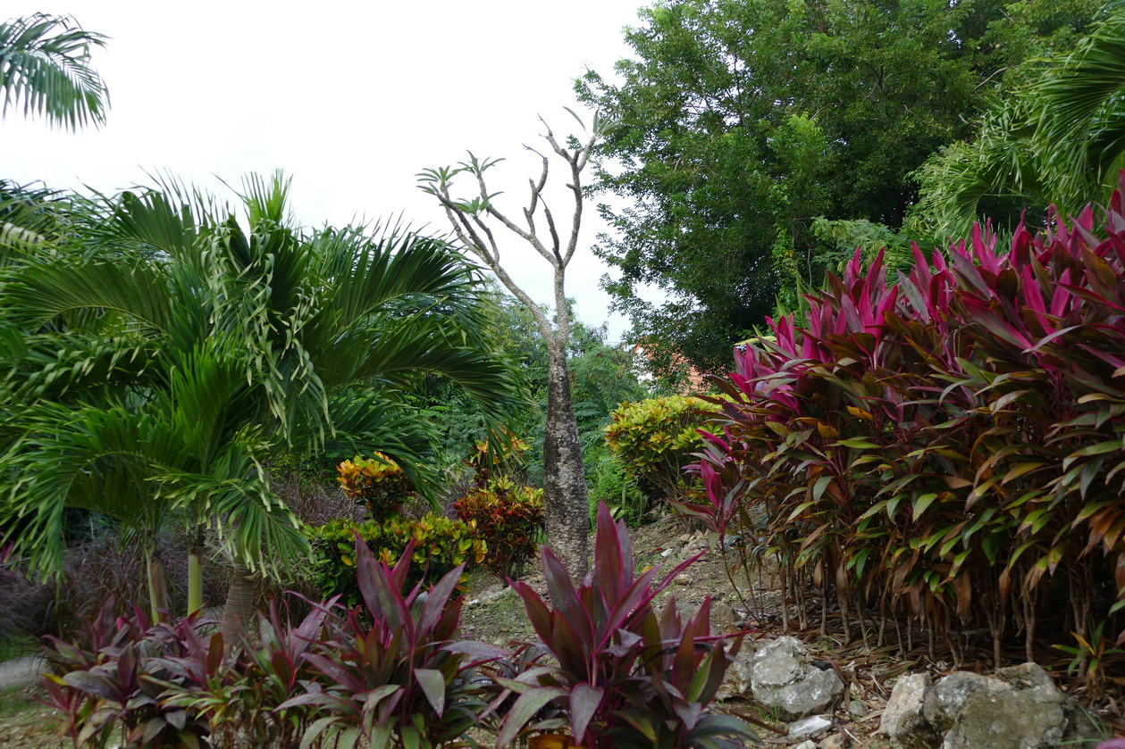 15. La Martinique, le calvaire de Ste Anne ; une belle floraison