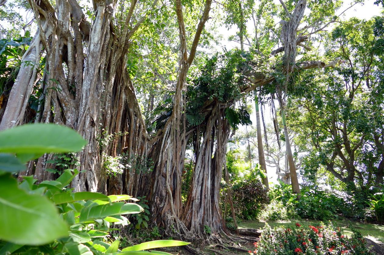 16. La Guadeloupe ; Deshaies, le jardin botanique