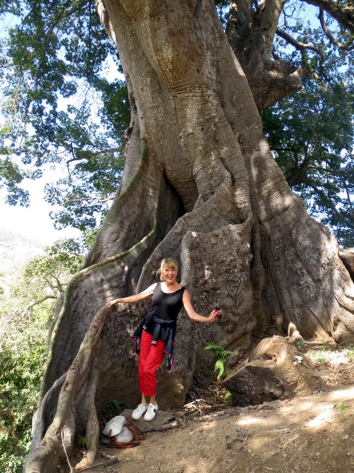 16. Santiago, arbre de capoc