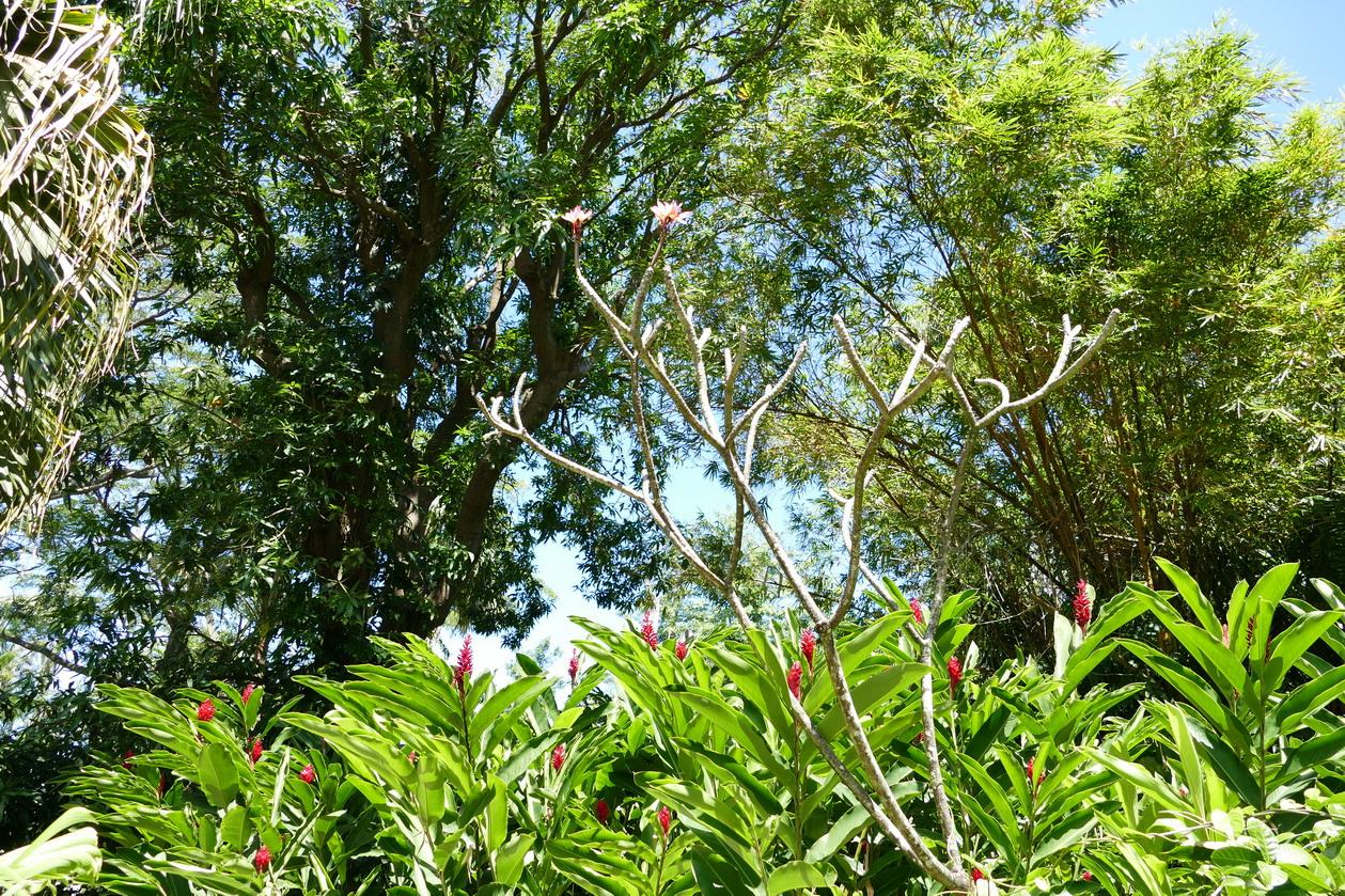 20. La Guadeloupe ; Deshaies, le jardin botanique