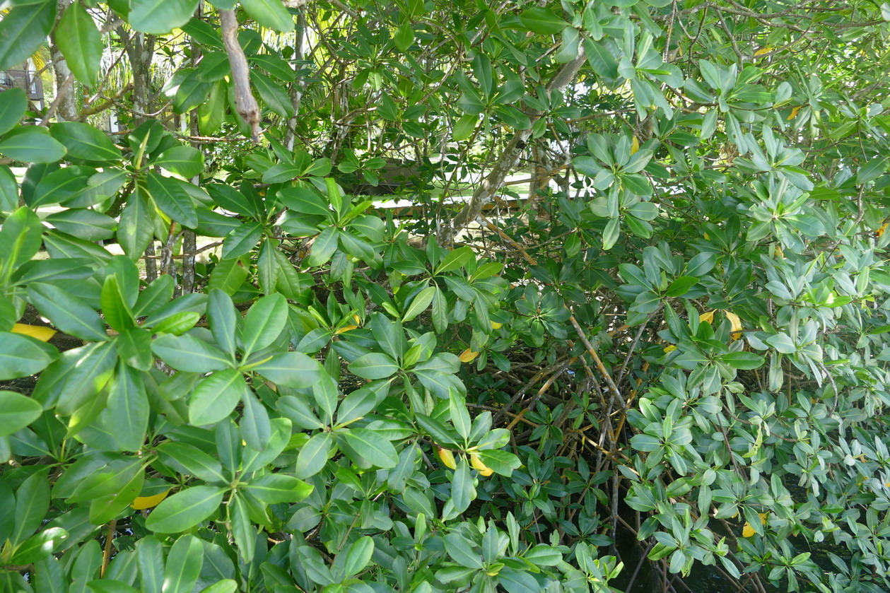 22. Ste Lucie, Marigot harbour, la mangrove