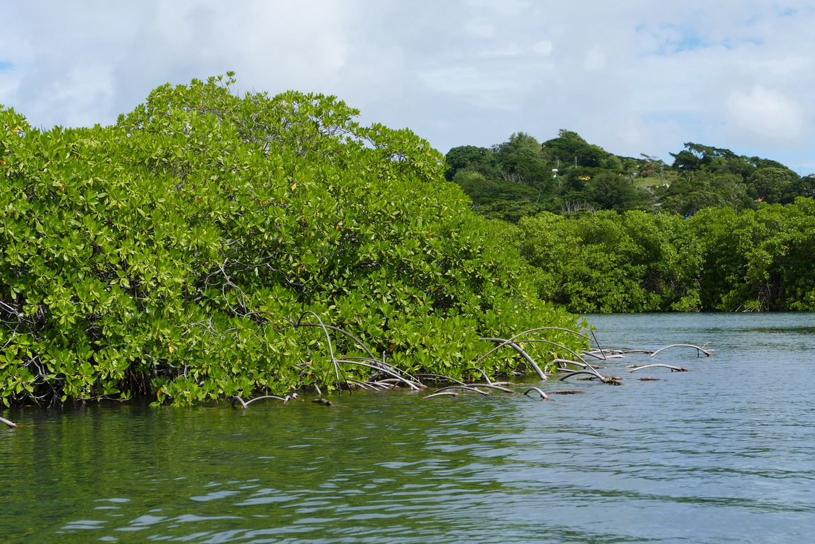 28. Mangrove