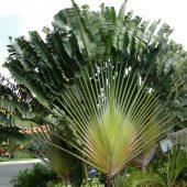 32. L'arbre des voyageurs