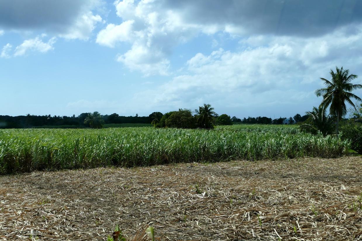 42. Marie-Galante ; entre Grand-Bourg et St Louis, les champs de canne à sucre (début de récolte)