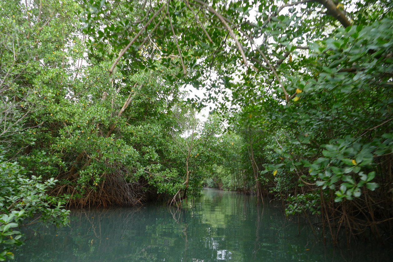 44. La Martinique, le Marin ; canal à travers la mangrove