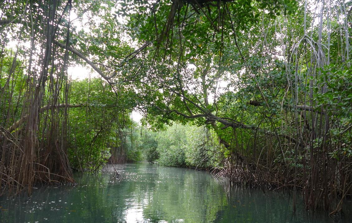 45. La Martinique, le Marin ; canal à travers la mangrove