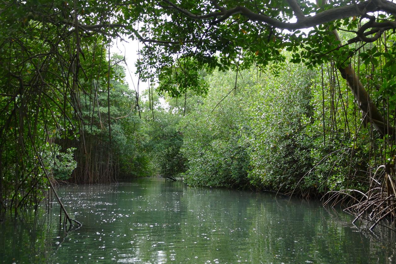46. La Martinique, le Marin ; canal à travers la mangrove