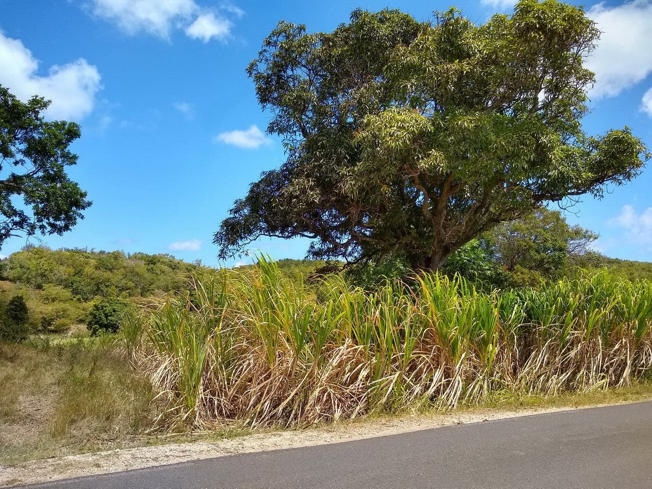 05. Marie-Galante, vers le nord de l'île, champ de canne à sucre