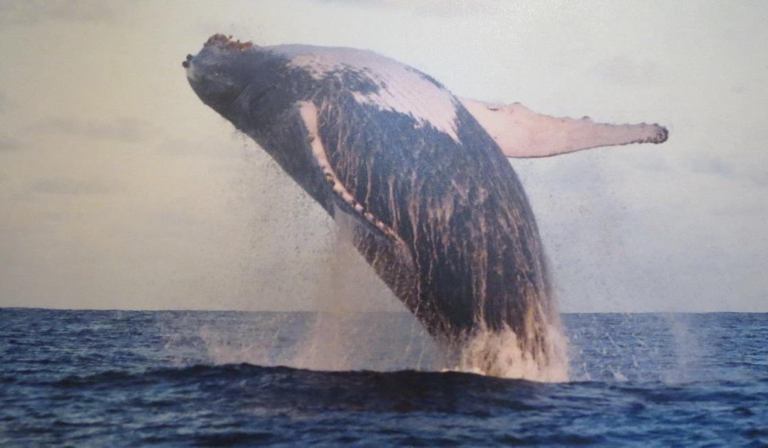 05. SdB, musée de la marine, une baleine à bosse