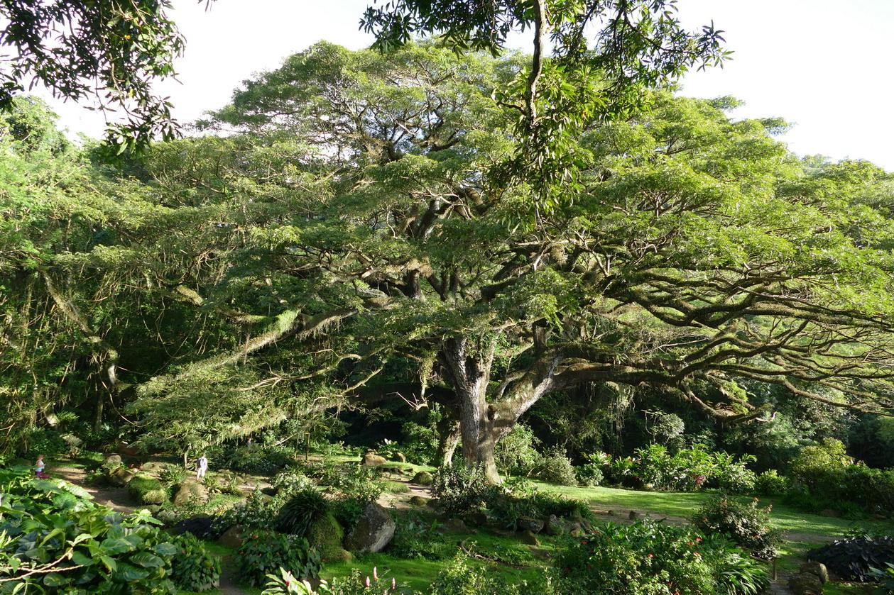 11. L'habitation Céron, un tamana