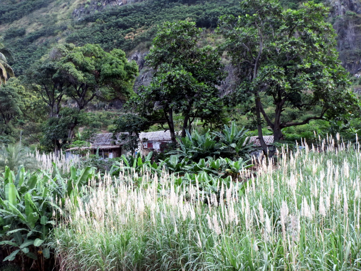 11. Plantation de canne à sucre