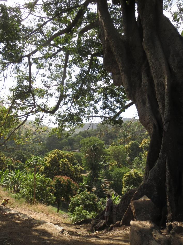 15. Santiago, arbre de capoc, le plus haut du Cap Vert (30 m)