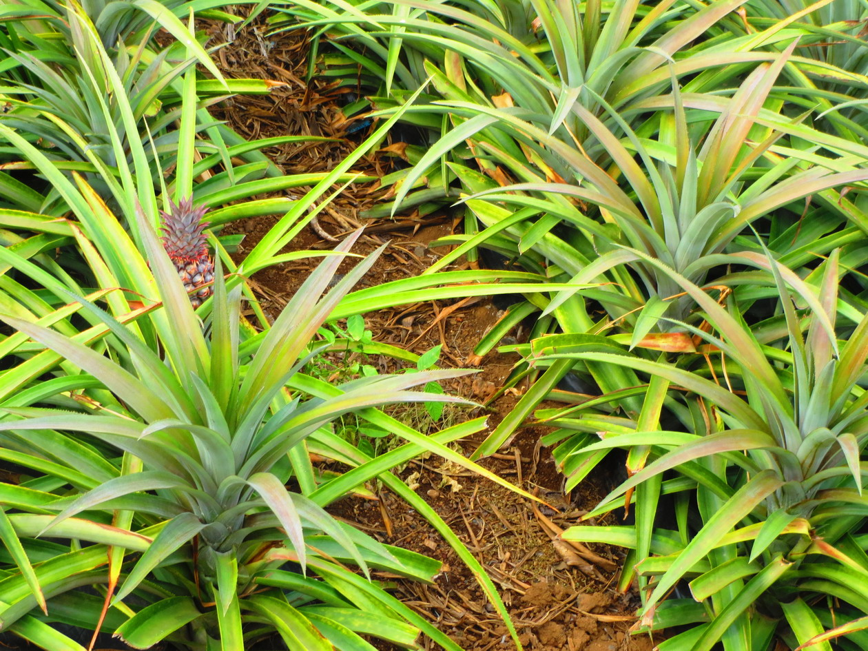18. Culture d'ananas