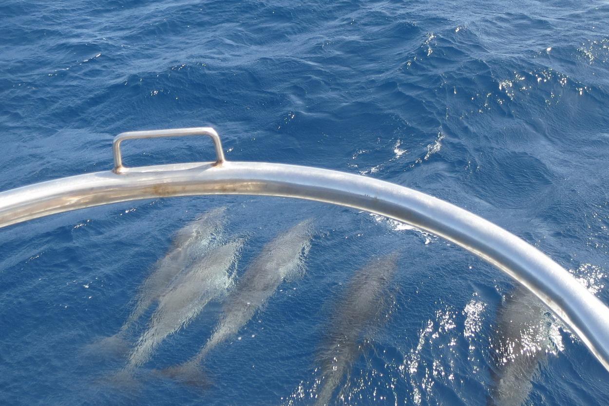 2. Nos premiers compagnons de voyage, un troupeau d'une cinquantaine de dauphins