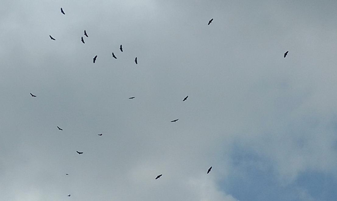 20. Vol de vautours (aussi nombreux que les pélicans) à Scotland bay