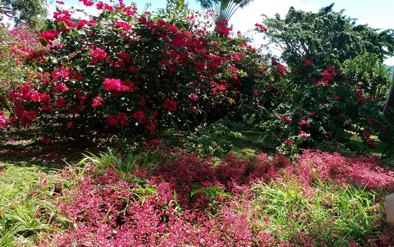 25. La Guadeloupe ; Deshaies, le jardin botanique