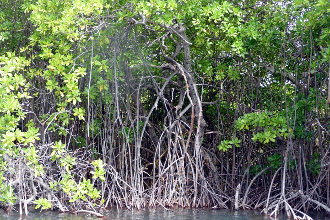 25. Mangrove