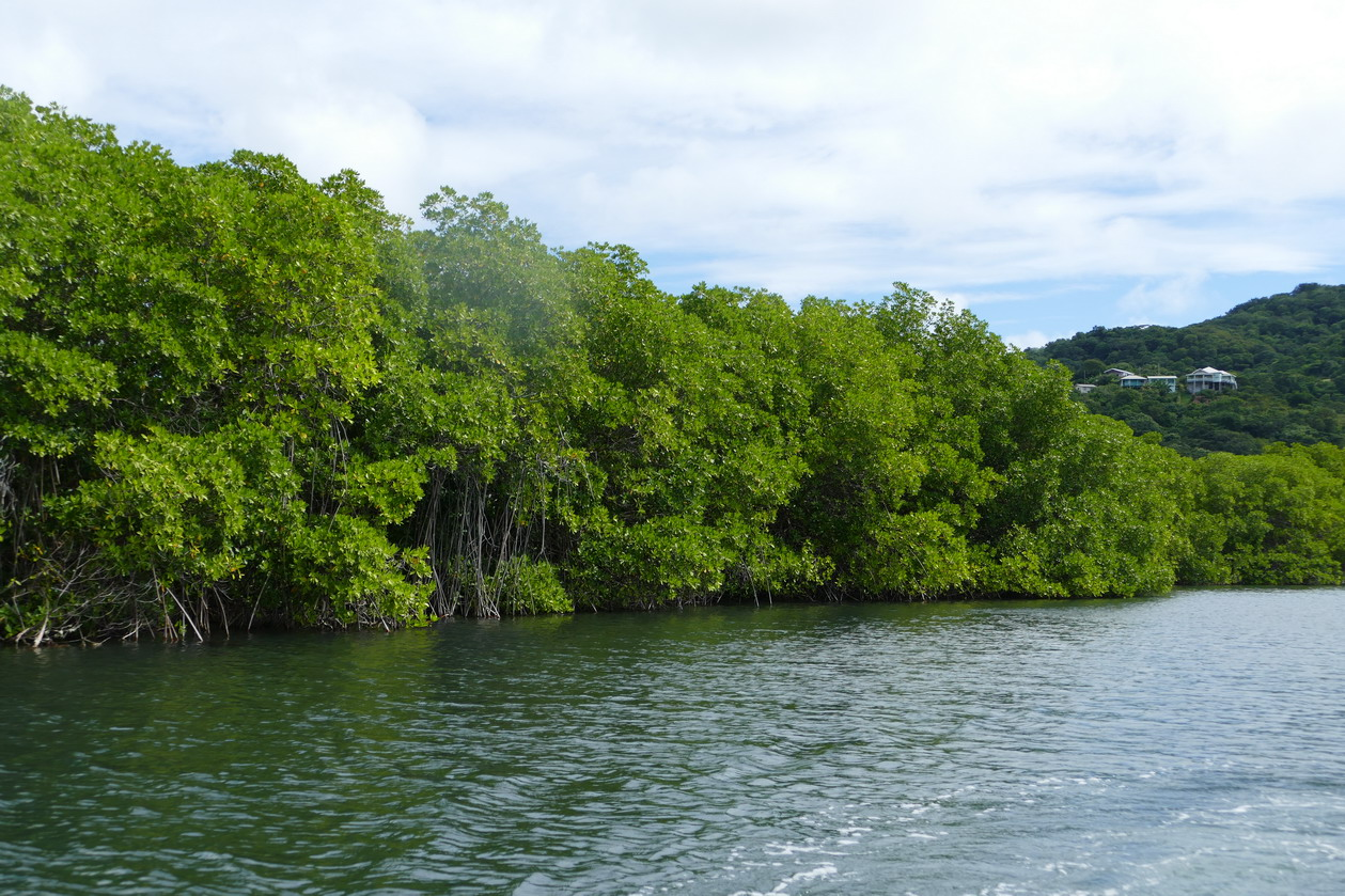 26. Mangrove