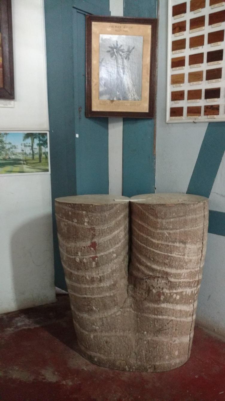 30. Musée départemental, un tronc double de palmier