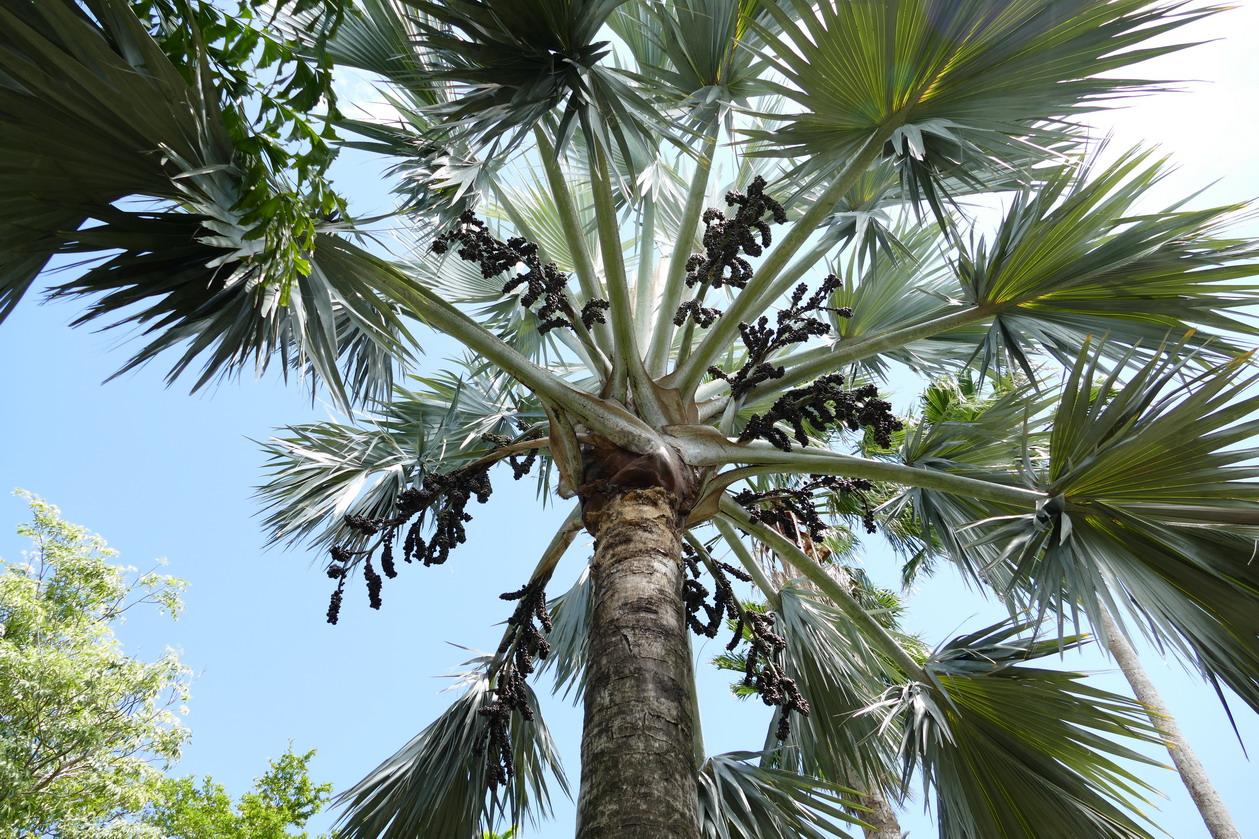 31. La Guadeloupe ; Deshaies, le jardin botanique