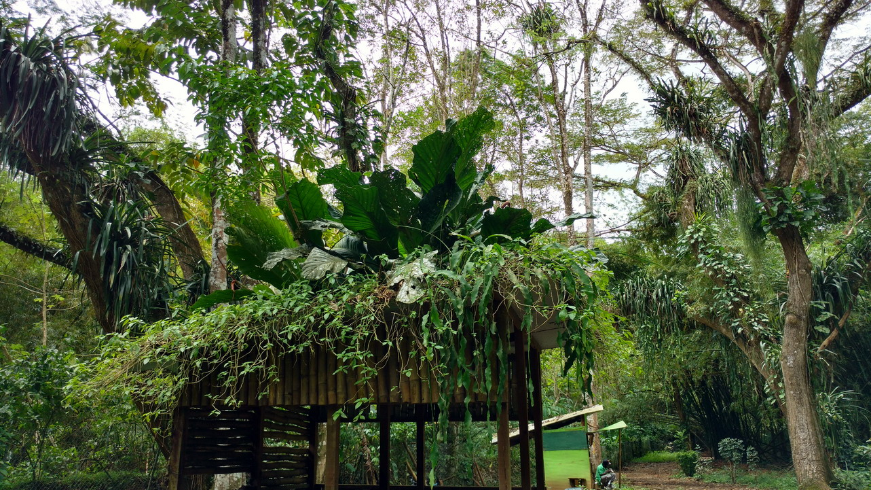 32. Dans la forêt primitive sur le chemin de la chute d'eau d'Argyle ; le tailleur de bambou