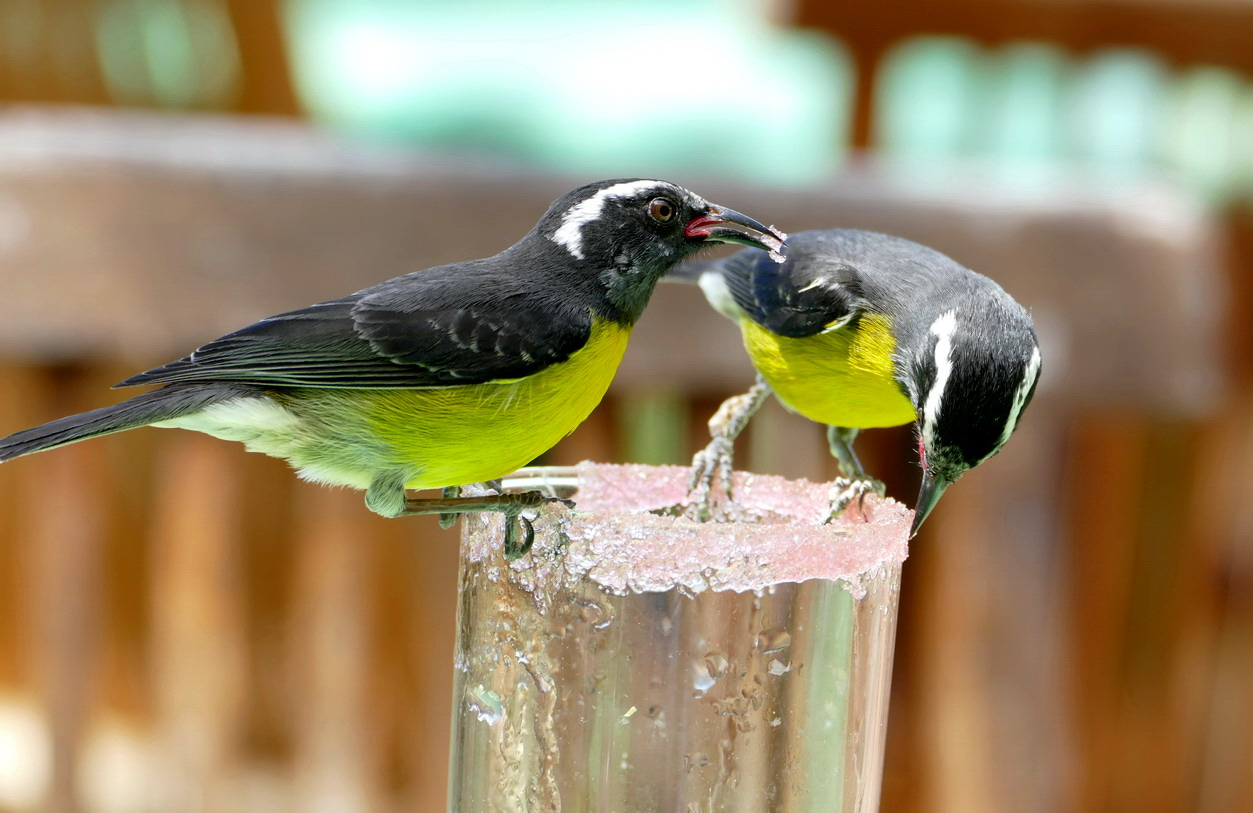 38. La Guadeloupe ; Deshaies, le jardin botanique, des oiseaux sucriers