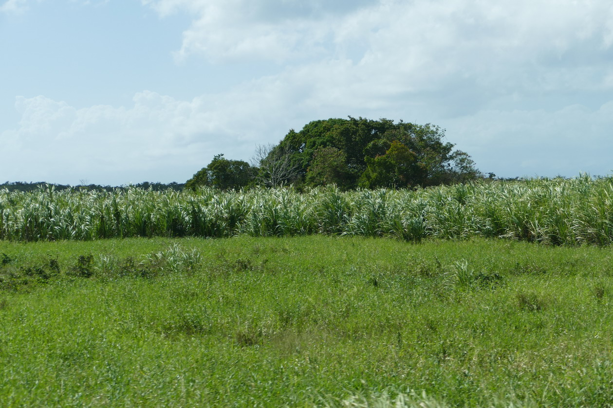 40. Marie-Galante ; entre Grand-Bourg et St Louis, les champs de canne à sucre