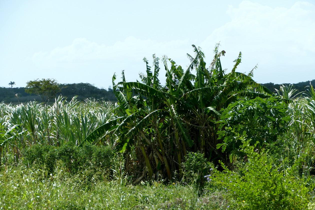 41. Marie-Galante ; entre Grand-Bourg et St Louis, les champs de canne à sucre