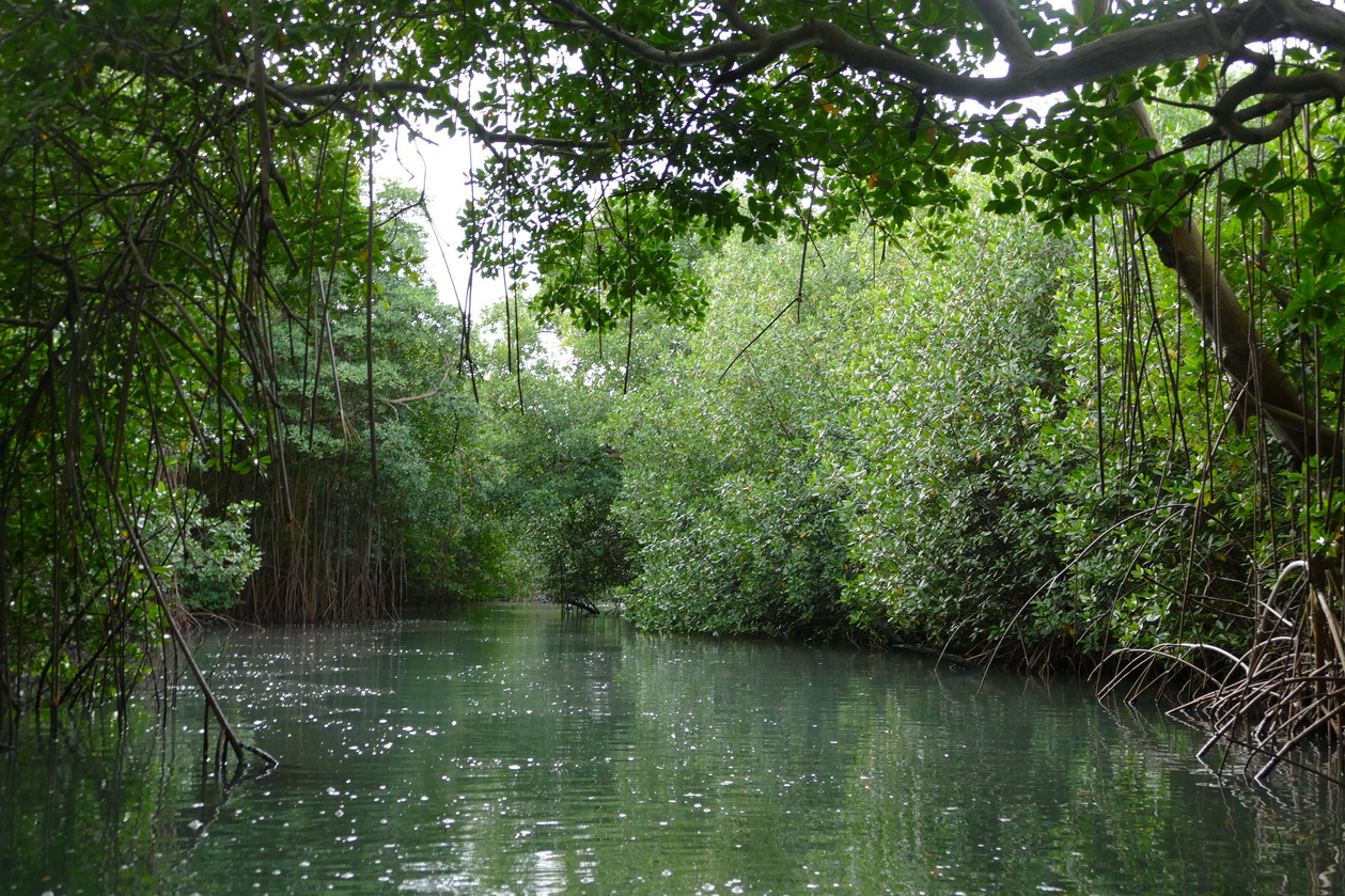 46. La Martinique, le Marin ; canal à travers la mangrove