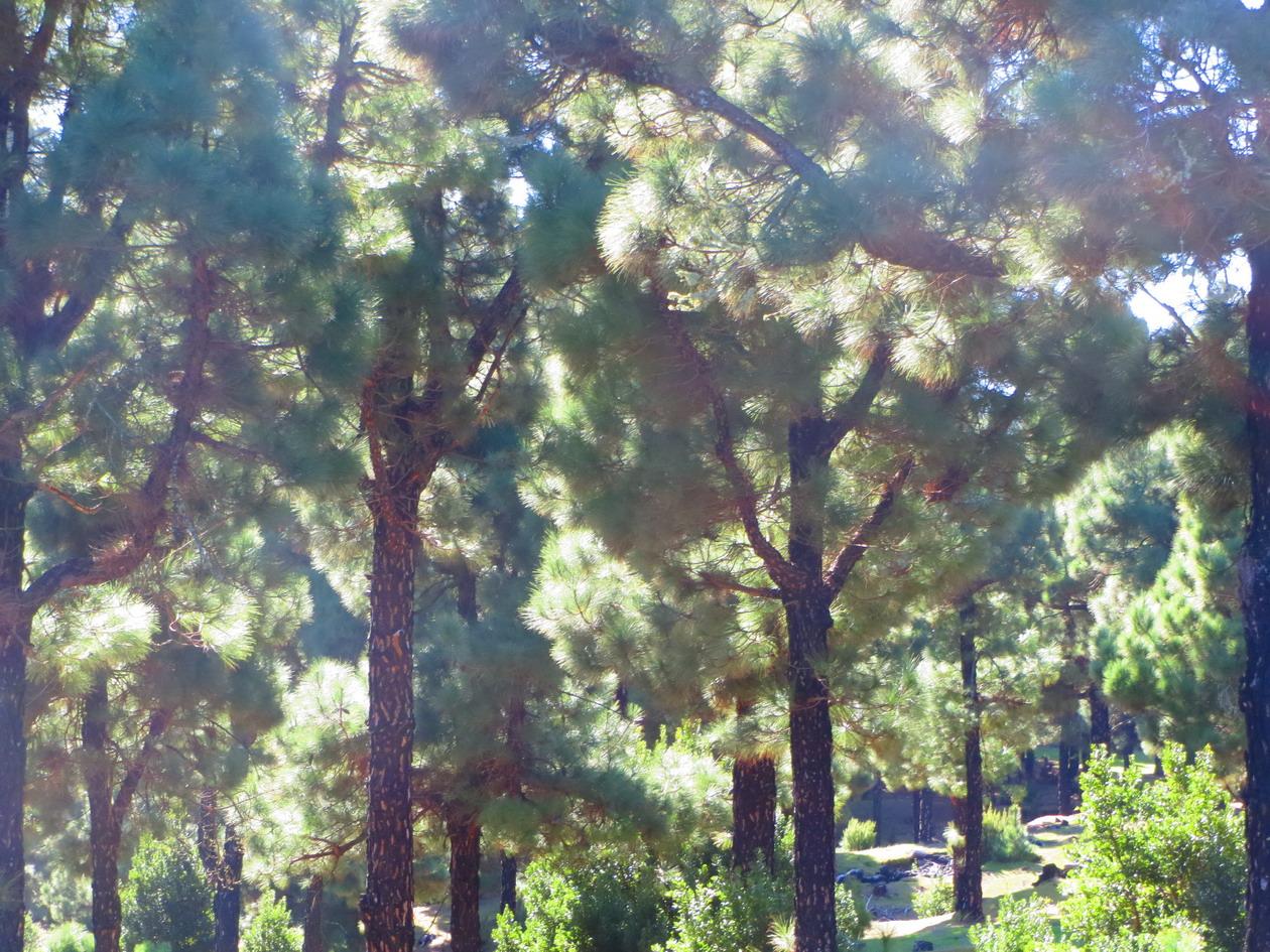 9. Forêt de pins au centre de l'île