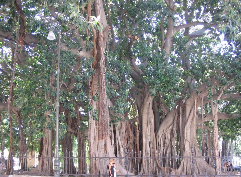 18. Ficus magnolia de la piazza Merina